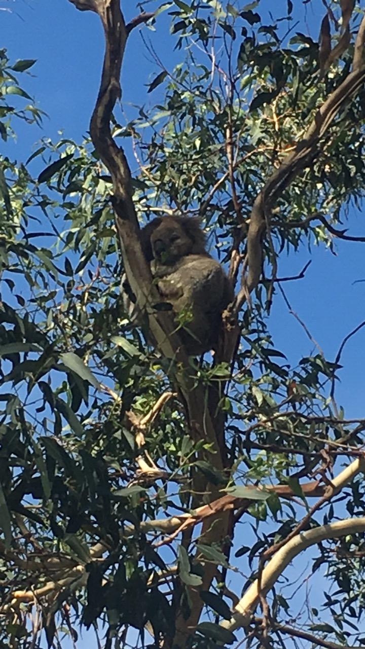 When in Australia, you're bound to make some wild Koala friends.